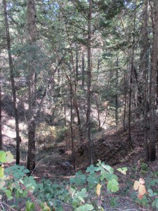 Dense and diverse forests in the AFR Stewardship Project. Photo Credit: Anne Mottek Lucas