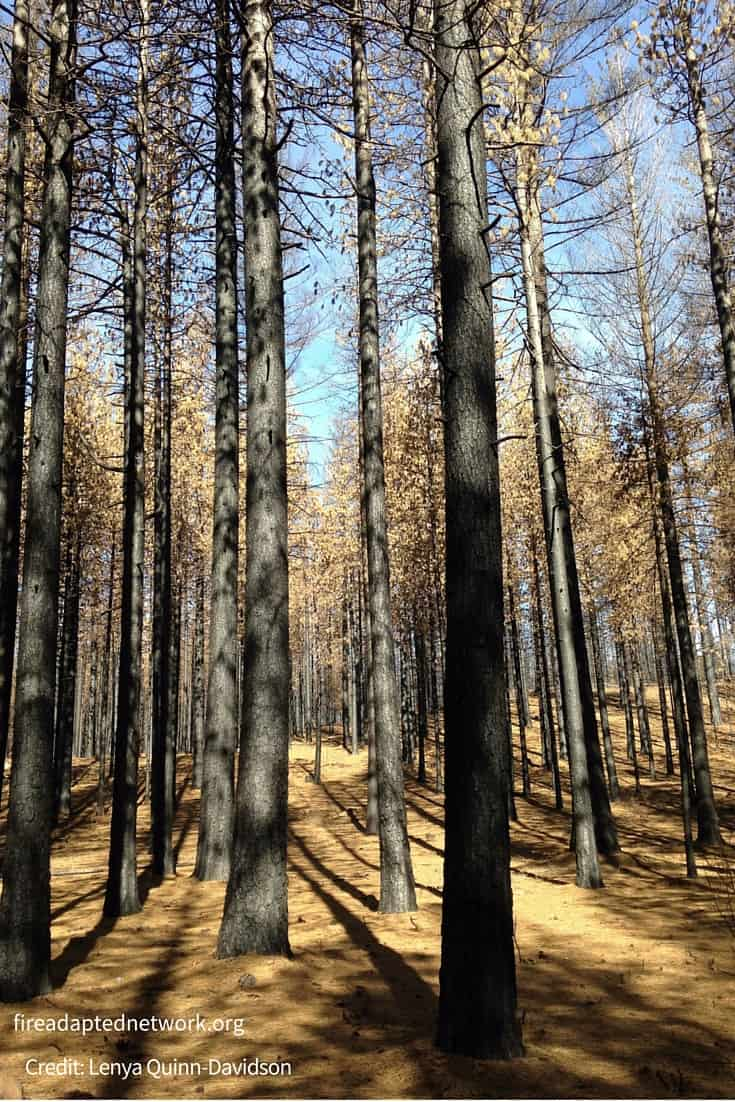This ponderosa pine stand was prescribed burned more than a decade ago, then burned at high severity during the 2015 Valley Fire. Credit: Lenya Quinn- Davidson