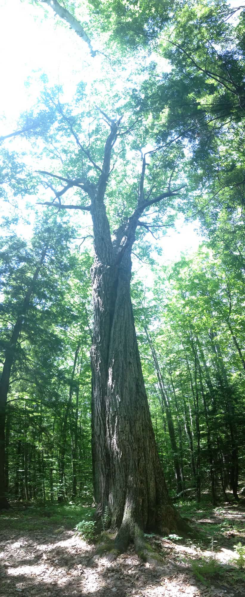 The massive red oak (Quercus rubra) near my friend's house in New Hampshire.