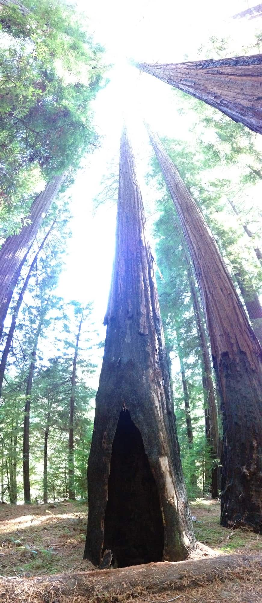 Many old-growth redwoods have well-developed cat faces from repeated fires. Credit: Lenya Quinn-Davidson