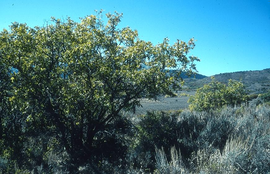 Landscape image of a Gambel oak forest.