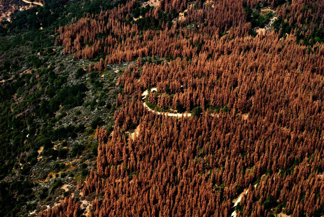 Aerial image of tree mortality due to bark beetles.