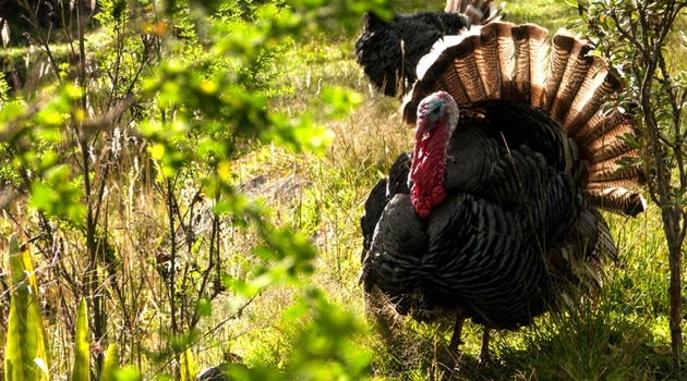 Wild turkey in vegetation