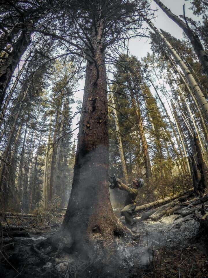 Portrait panorama of crew member felling a dead tree.