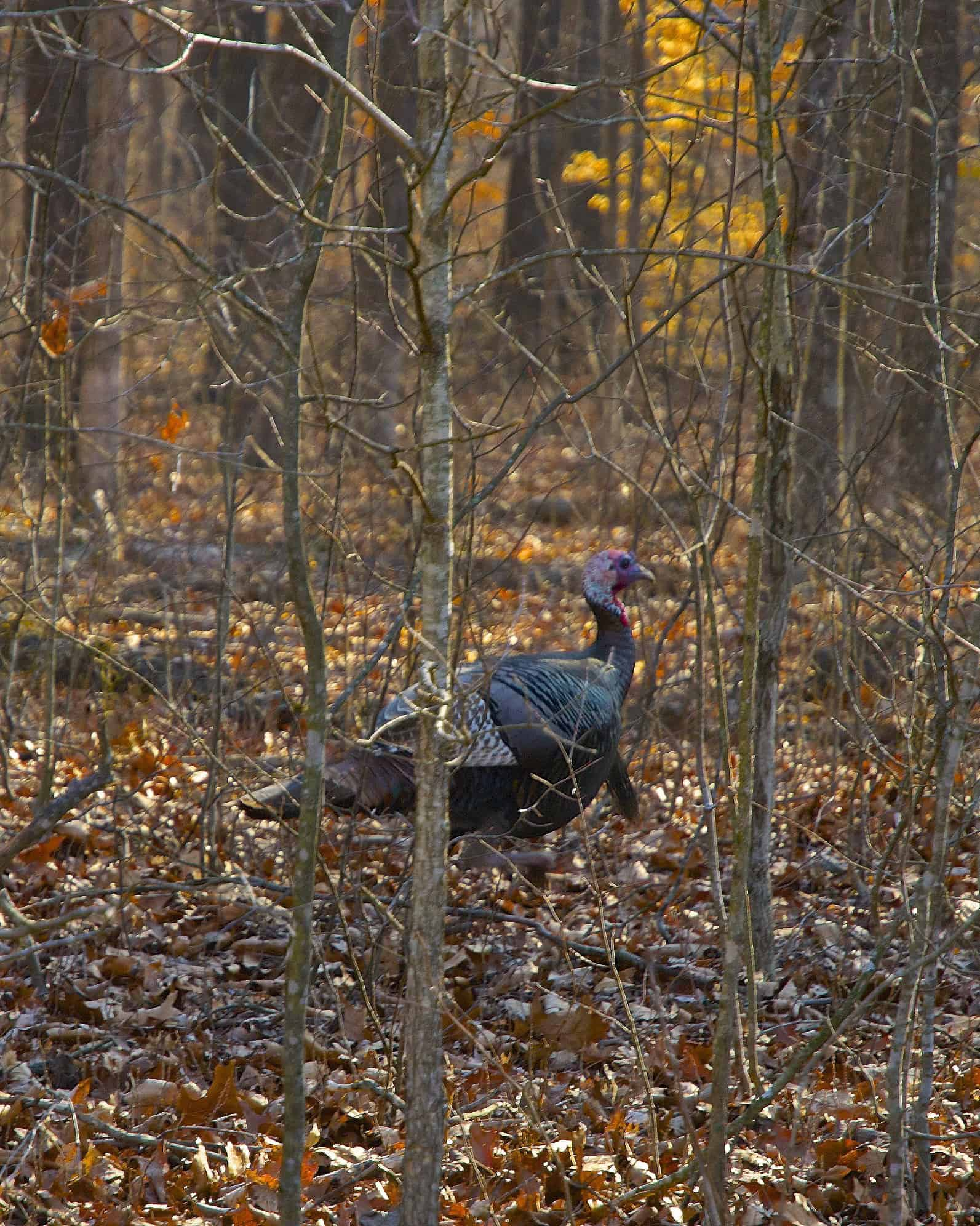 Wild turkey foraging in one of Oregon's many mixed hardwood stands. Credit: wplynn via Flickr Creative Commons