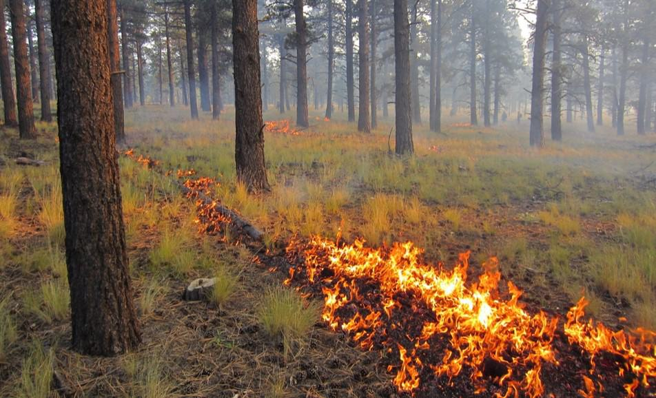 Prescribed fire gently rolling through a conifer forest.