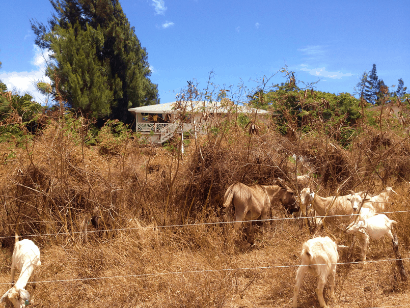 A herd of goats eating vegetation in front of a home