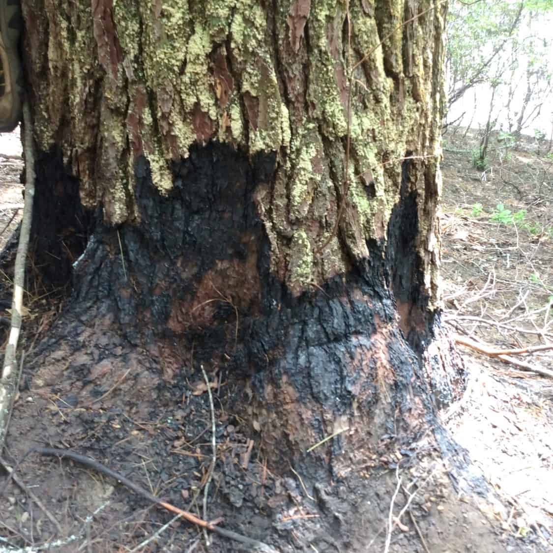 A burn scar on the trunk of a tree
