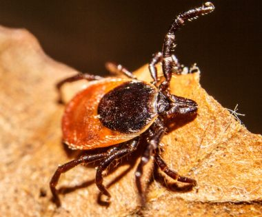 Science Tuesday: Toasted Ticks
