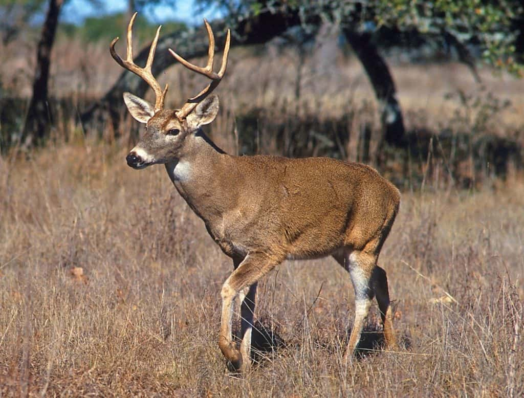 White-tailed buck in grassland