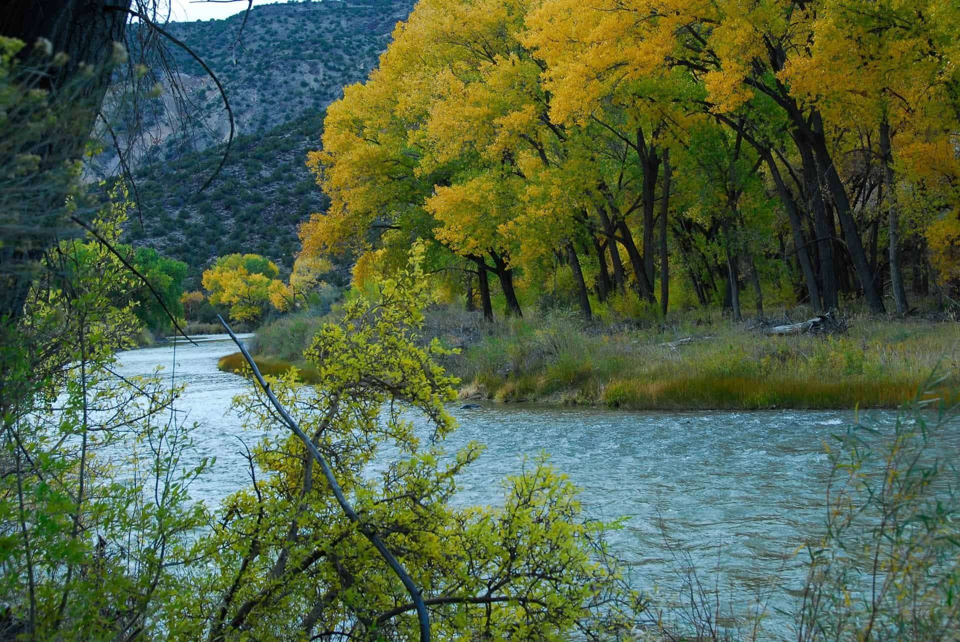 Cottonwoods in autumn along the Rio Grande