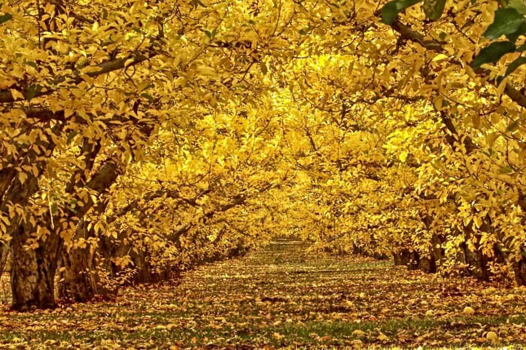 Fruit orchard during the fall