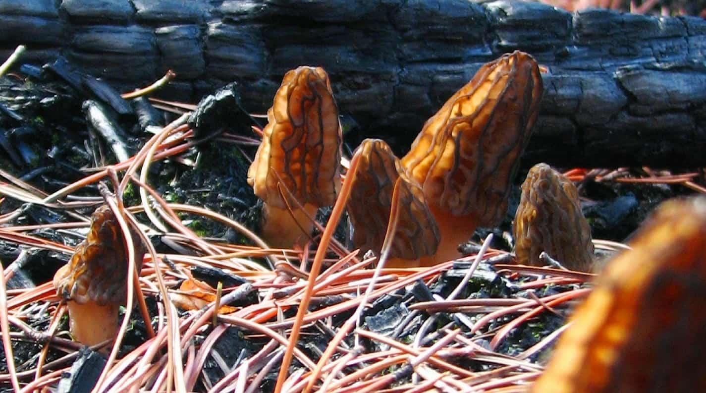 Morel mushrooms growing in a post-fire habitat