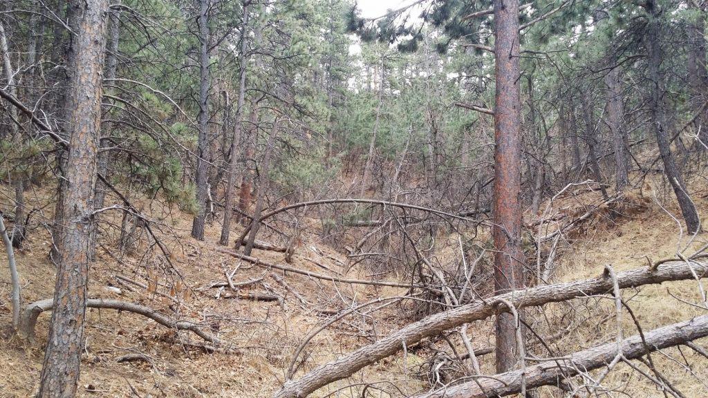 Overgrown forest, dense with hazardous fuels
