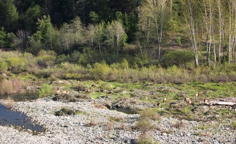 Elk feeding along a riverbank; the Karuk Tribe applies Traditional Ecological Knowledge to landscape planning to protect species like these