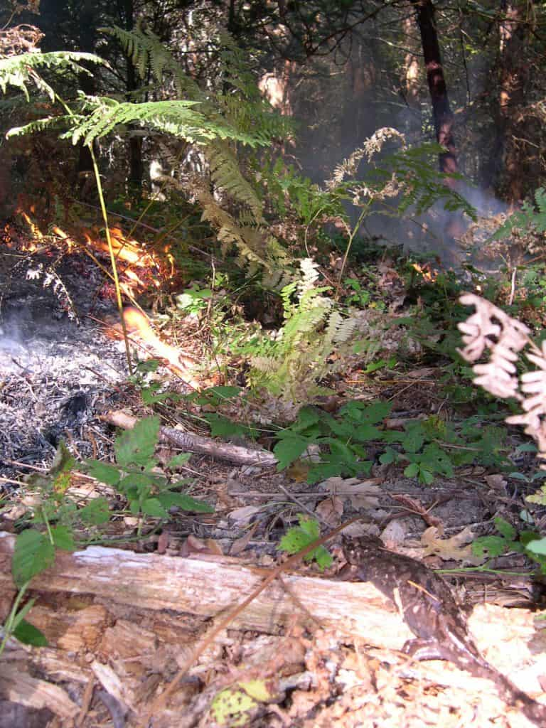A Pacific giant salamander observes fire in the forest