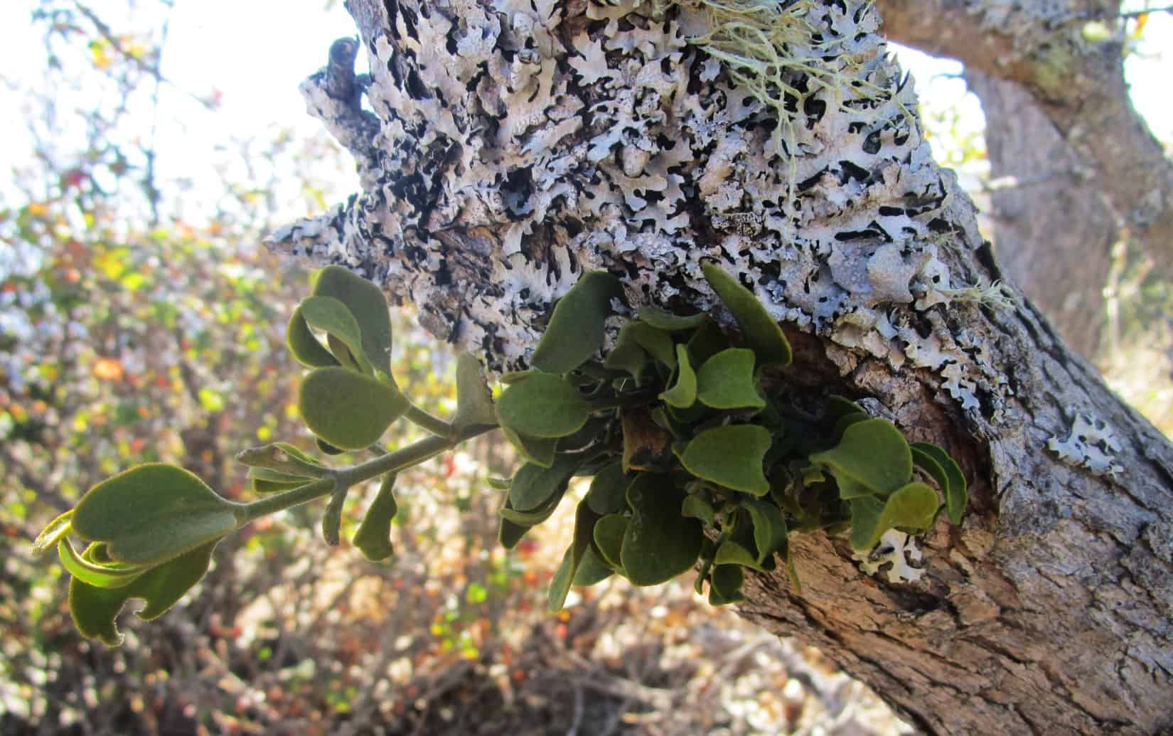 Leafy mistletoe growing on a hardwood tree