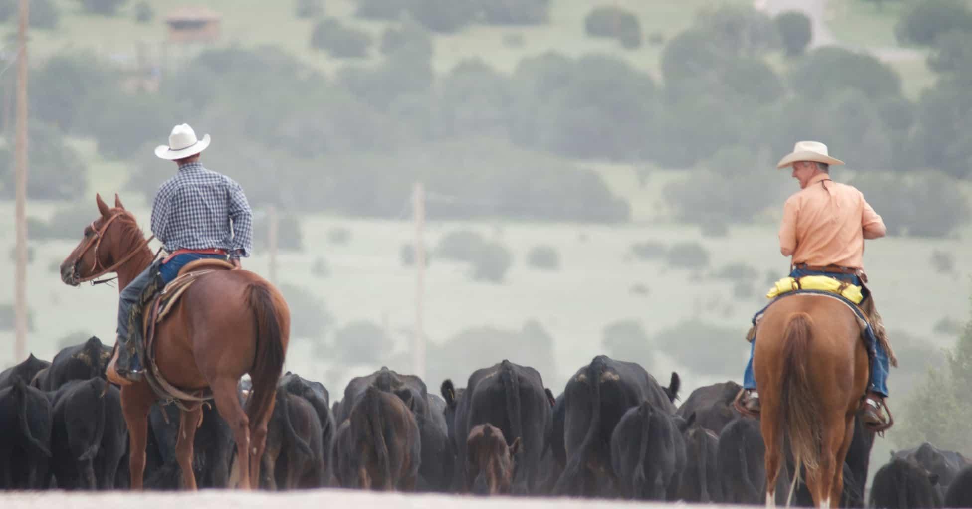 Two men on horseback herding cattle.