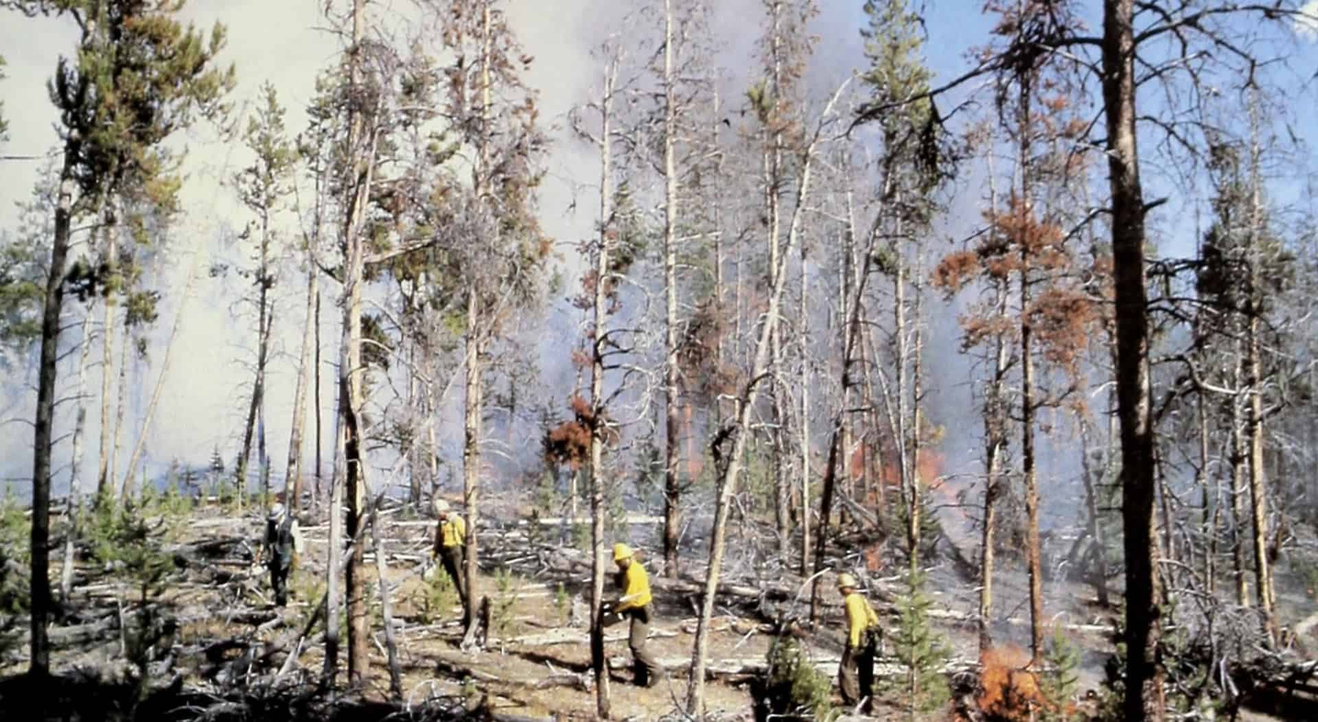 Prescribed fire in a mistletoe-infested pine stand