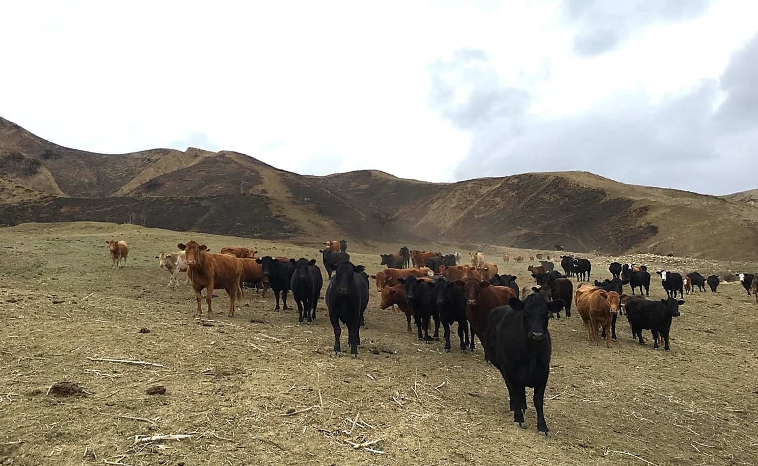 Cattle in a barren field
