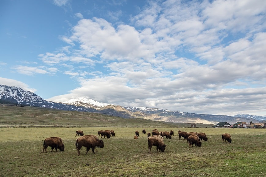 Bison grazing in a meadow, with snow-capped mountains in the background, pyric herbivory in action