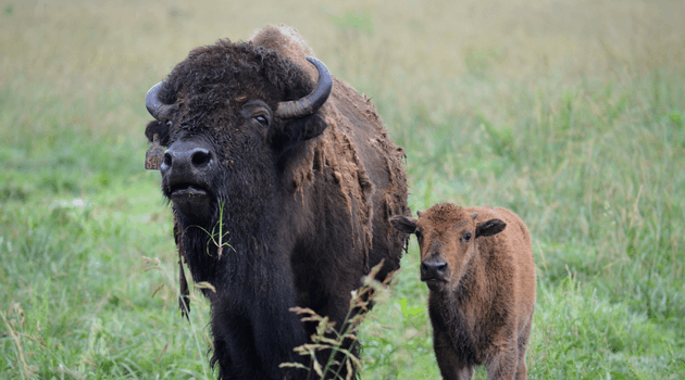 Two bison (a cow and a calf) in a grassy field