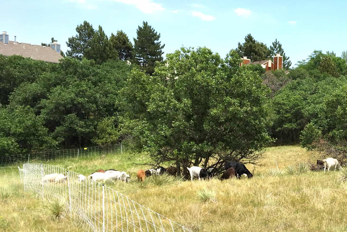 A herd of goats grazing near and on a Gamble oak