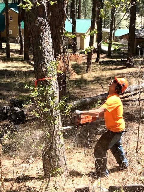A sawyer felling a tree