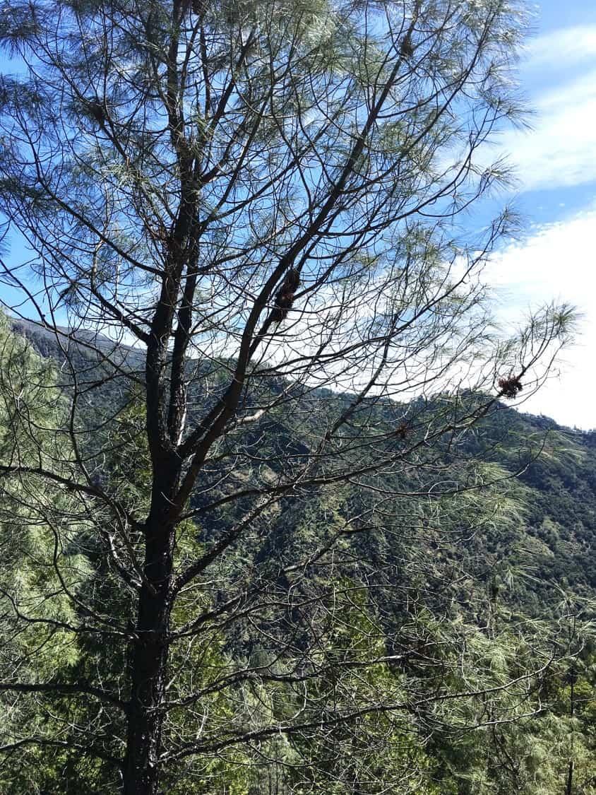 Gray pine and surrounding vegetation