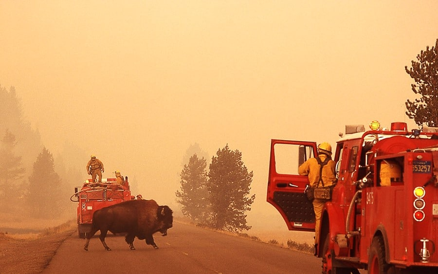 A bison crossing a smokey road, with firefighters present. An iconic image from the 1988 Yellowstone Fires