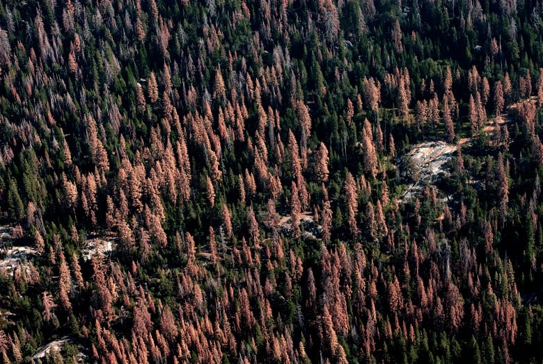 Aerial view of tree mortality in the Sierra
