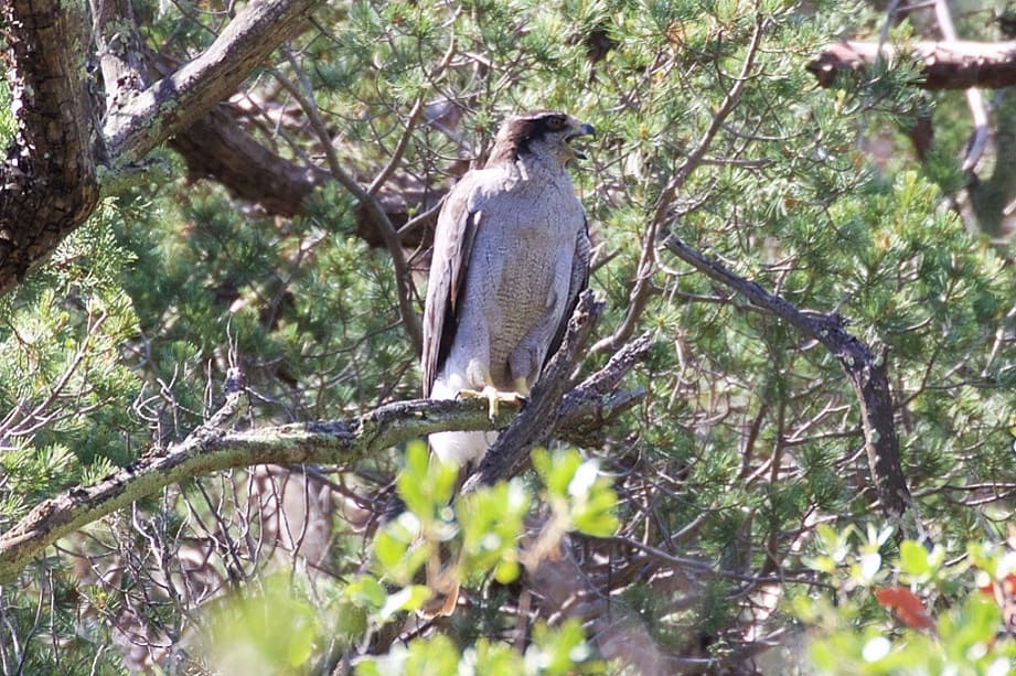 Goshawk is an example of a species with a notoriously particular wildlife habitat