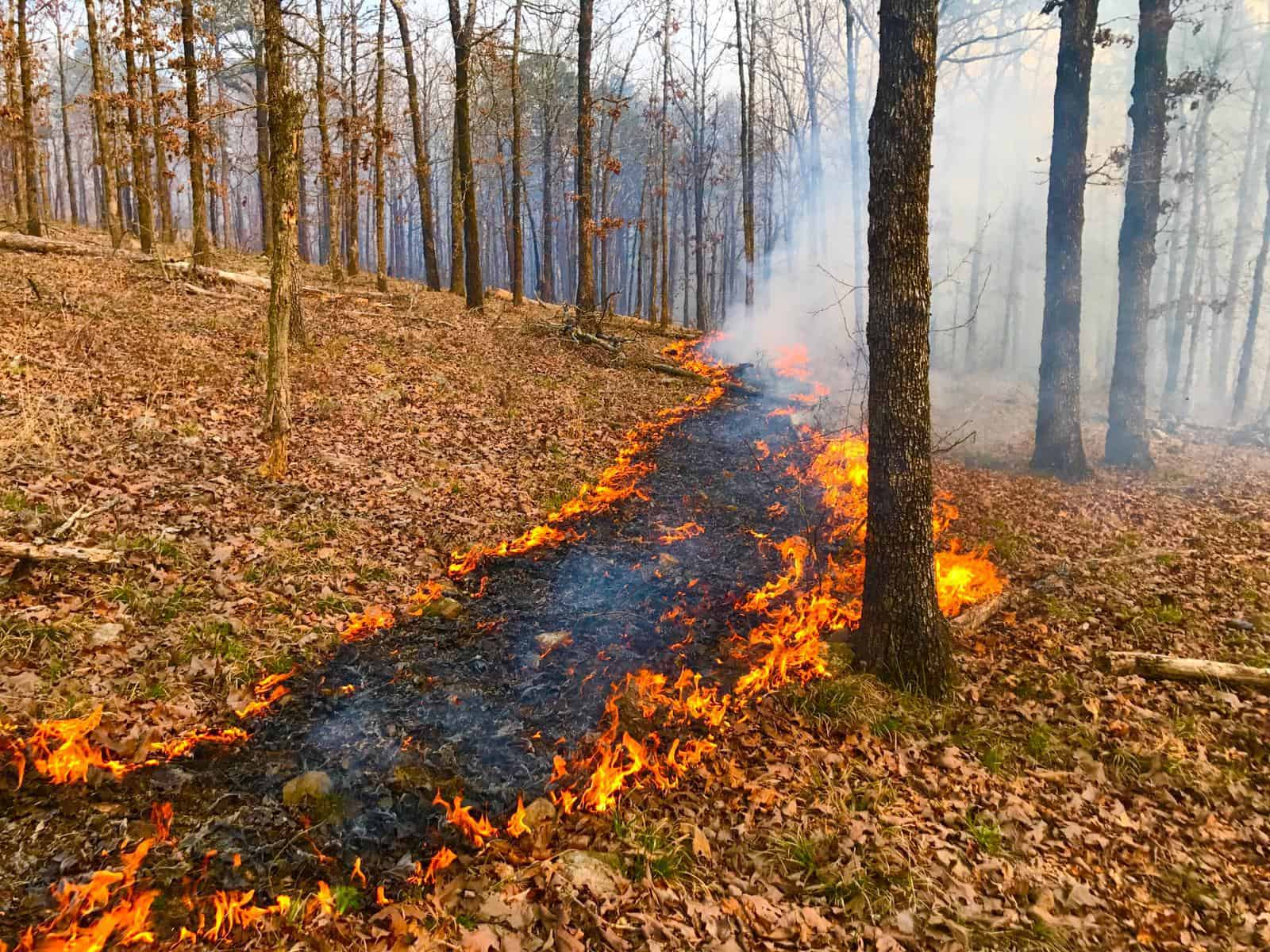 A prescribed fire, burning just above the ground
