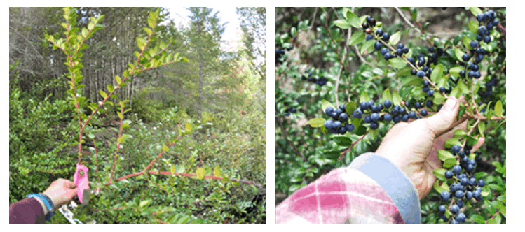A photo of a huckleberry bush with no berries (left) and a photo of a bush loaded with berries (right)