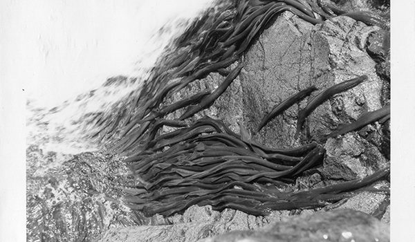 Close-up of Pacific lamprey moving up steep rocks, 1963