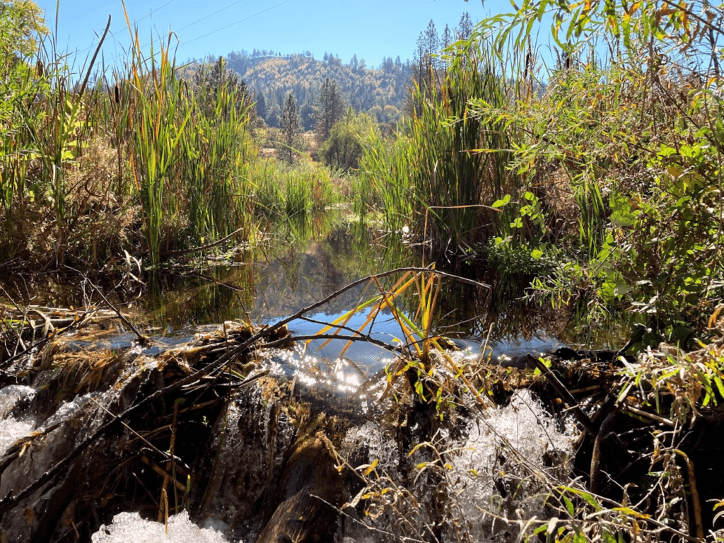 A beaver dam in the foreground with a pond in the background