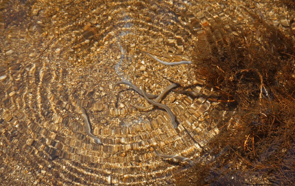 lamprey fish swimming