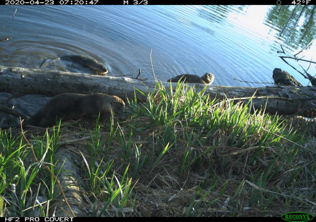 A field camera still shot of beavers in a pond by the shoreline