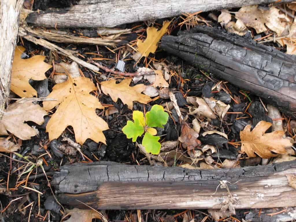 Burned fallen wood with a small green new growth peeking through