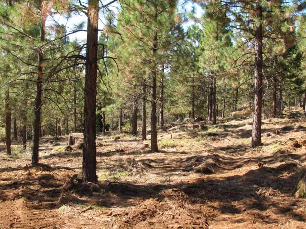 Trees in a forest showing ground after thinning