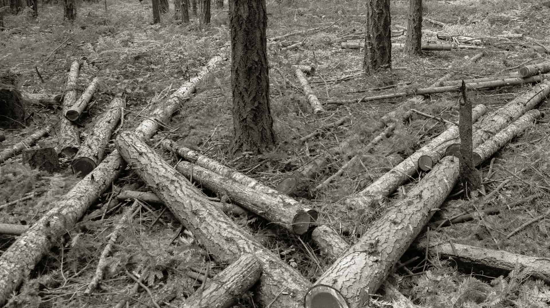 black and white photo of downed trees