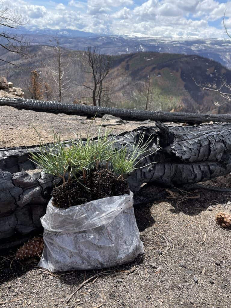 Photo of a burned log with a sprouting tree with soil in a large bag and mountains in the distance